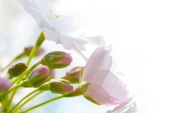 Pink Cherry Blossoms Against White Background Royalty Free Stock Photos