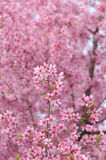 Pink Cherry Blossoms Background Royalty Free Stock Image