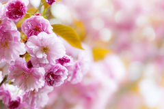 Pink cherry blossoms background Royalty Free Stock Images