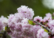 Pink cherry blossoms. Pink cherry blossom in spring gently Royalty Free Stock Photo