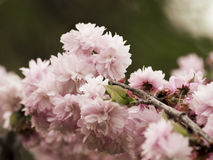 Pink cherry blossoms. Pink cherry blossom in spring gently Royalty Free Stock Photography