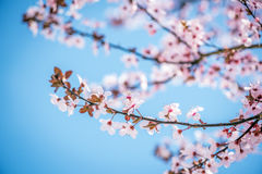 Pink cherry blossoms and a blue sky background Stock Images