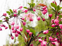 Pink cherry blossoms on a branch with green leaves Stock Images