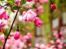 Pink cherry blossoms on a branch with green leaves Royalty Free Stock Photos