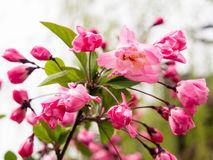 Pink cherry blossoms on a branch with green leaves Stock Photos