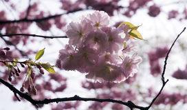 Pink cherry blossoms. Branches of a blooming tree Stock Photos