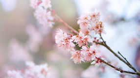 Pink cherry blossoms and branches Royalty Free Stock Image