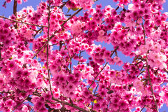 Pink cherry blossoms branches. Light fresh pink of cherry blossom tree with blue sky background stock photography