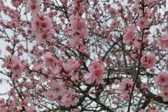 Pink cherry blossoms. Branches are located throughout the image stock photography