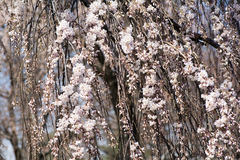 Pink Cherry Blossoms. Close up Pink Cherry Blossoms Hanging down the Tree Stock Images