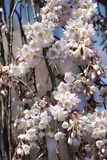 Pink Cherry Blossoms. Close up Pink Cherry Blossoms Hanging down the Tree on Blue Sky Background Stock Image