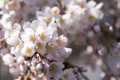 Pink Cherry Blossoms. Close up Macro Pink Cherry Blossoms with blur flower Background Royalty Free Stock Image