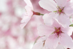 Pink Cherry Blossoms Closeup Stock Photos