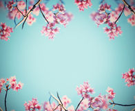 Pink cherry blossoms flower in full bloom over blue sky, vintage Royalty Free Stock Photography