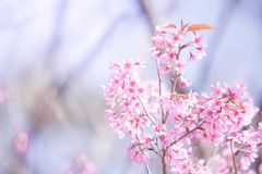 Pink cherry blossoms flower royalty free stock photography