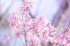 Pink cherry blossoms flower stock images