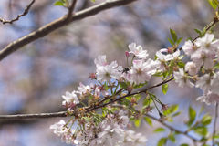 Pink cherry blossoms in full bloom against a blue sky Stock Image