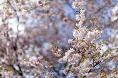 Pink cherry blossoms in full bloom against a blue sky royalty free stock images