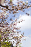 Pink cherry blossoms in full bloom against a blue sky Stock Photos