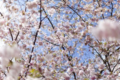 Pink cherry blossoms in full bloom against a blue sky stock photography