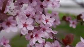 The pink cherry blossoms are in full bloom. Sakura background stock video