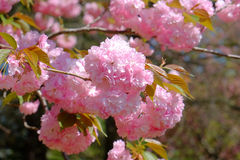 Pink Cherry blossoms in full springtime bloom. Pink ball of Cherry Blossom bud flowers on a tree branch in full color and bloom on a warm spring day stock photo