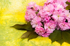 Pink cherry blossoms. Stock Photos
