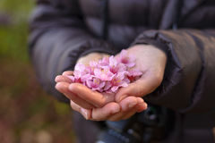 Pink Cherry blossoms in hands, focus on middle with shallow dept Stock Photos