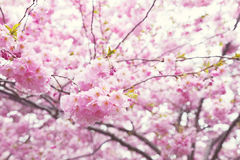 Pink cherry blossoms. Image of pink cherry blossoms. Shallow depth of field Royalty Free Stock Images