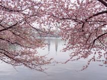 Pink cherry blossoms at the inner Alster Lake at calm morning with Town Hall in blurry background. Royalty Free Stock Image