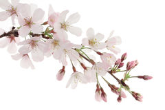 Pink Cherry Blossoms Isolated on White Royalty Free Stock Photo