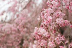 Pink Cherry blossoms or sakura. Full bloom with blurred background in Japan stock photo