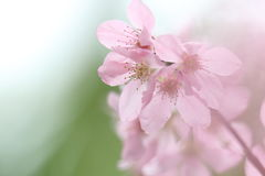 Pink Cherry Blossoms Soft background. Pink cherry blossoms with green and white soft background Royalty Free Stock Image