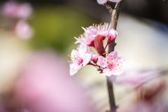 Pink cherry blossoms on a softly blurred background. Beautiful pink cherry blossoms on a softly blurred background Royalty Free Stock Photography