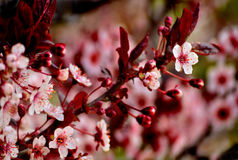 Pink Cherry Blossoms in Spring Royalty Free Stock Image