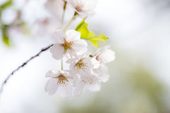 Pink cherry blossoms in spring Stock Photos