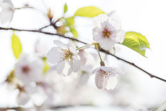 Pink cherry blossoms in spring Royalty Free Stock Photography