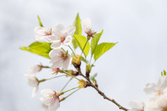 Pink cherry blossoms in spring Royalty Free Stock Photos