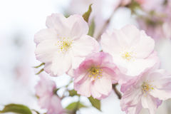 Pink cherry blossoms in spring Stock Photography