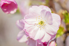 Pink cherry blossoms in spring Royalty Free Stock Images