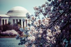 Pink cherry blossoms in spring framing the Jefferson Memorial in Washington DC Royalty Free Stock Photo