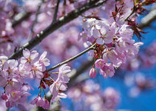 Pink Cherry Blossoms in the spring Stock Images
