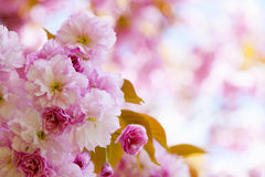 Pink cherry blossoms in spring orchard. Pink cherry blossom flowers on flowering tree branch blooming in spring orchard with copy space Royalty Free Stock Photos