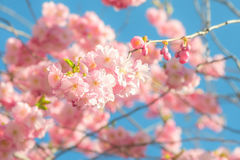 Pink cherry blossoms in springtime Royalty Free Stock Photo