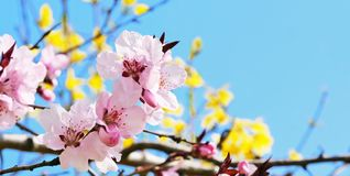 Pink cherry blossoms on tree branch against blue sky stock images