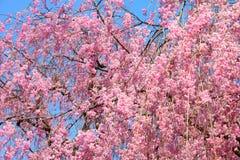 Pink cherry blossoms. Ueno Park spring time. Cherry blossoms in Tokyo, Japan. Pink cherry blossoms. Weeping cherry - shidarezakura stock image