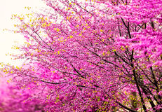 Pink Cherry Blossoms Stock Photography