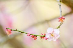 Pink Cherry Blosssom with blue sky royalty free stock images