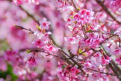 Pink Cherry Blosssom in spring stock photos