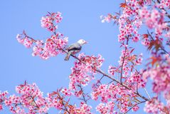 Pink Cherry Blosssom with white-headed bulbul bird stock photography